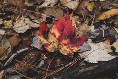 leaves (MariaMargy) Tags: leaves fall autumn season red orange nature dirt nikon d3300 alliston ontario canada