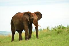 Саванный слон, Loxodonta africana, African Savanna Elephant (Oleg Nomad) Tags: африка кения сафари животные млекопитающие копытные саванна africa kenya safari mammals travel animals savanna саванныйслон loxodontaafricana africansavannaelephant