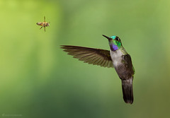 Hummingbird and a bee (Chris Jimenez - Take Me To The Wild) Tags: lampornishemileucus action tail nature interaction chrisjimenez fighting inflight colibries flying fly insect colibri wasp bee costarica discosuraconversii bird birding whitebelliedmountaingem hummingbird wildlife twoanimal centralamerica