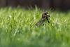 Hunting the Worm (iantaylor19) Tags: blackbird spring british birds canon 80d sigma 150600 warwickshire wildlife