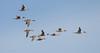 Pintails, Pijlstaart (Paul van Agthoven) Tags: birds explore nature canon zoom holland bokeh dof birding