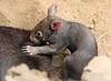 wombat Duisburg BB2A6472 (j.a.kok) Tags: mammal wombat buideldier australie australia animal duisburg zoogdier dier moederenkind motherandchild babywombat