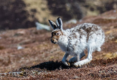 0126 (508) - Mountain Hare (Zana Benson) Tags: cairngorms glenshee mountainhare thecairnwell