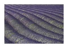Lavendelfeld (Babaou) Tags: frankreich france suedfrankreich provence provencealpescôtedazur alpesdehauteprovence lavendel lavande plateaudevalensole dxopl lalonde2017 paca