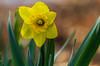 First Daffodil (114berg) Tags: 20april18 spring temps flowers blooming crocus daffodil geneseo illinois