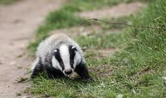 0T4A6792 (2) (Alinbidford) Tags: alancurtis alinbidford badgercubs brandonmarsh nature wildlife