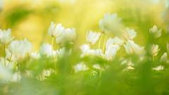 Pillow of Flowers (jurgenkubel) Tags: vitsippa wood anemone röschen flower blomma blüte blume makro macro closeup bokeh olympus bouquet bright plant grass