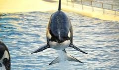 Happy Birthday Wikie ♥ (GALINETTE1208) Tags: wikie orca fly orque killer whales bow saut marineland birthday 2018 nikon d5200 antibes girl black white