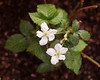 Blackberry (Cheryl3001) Tags: blackberry flower bush texture overlay nikcollection