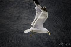 Gabbiano (seagull) (Salvatore Capuano) Tags: gabbiano seagull uccello mare cielo norvegia cibo ali volocoda bianco nero