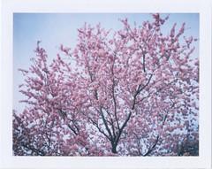 Blossom 2 (doegewooniets) Tags: fujifilm fp100c polaroid land camera peelapart peelapartfilm instant polaroid340 cherryblossom sakura