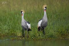 Grey Crowned Crane or Crested Crane (V I J U) Tags: 2016 africa kenya masaimara nature safari travel vijujose wildlife narok ke crestedcrane crane greycrownedcrane ef500mmf4lisii canon5dmarkiii