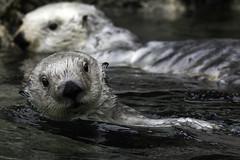 Quint @NYAquarium (canopic) Tags: otter seaotter quint newyorkaquarium nya wcs