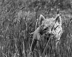 Stalked (adrian.sadlier) Tags: westie westhighlandwhiteterrier dog canine meadow malahidedemesne malahide pet friend mono monochrome