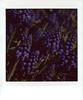 bluebells (Judy M. Boyle) Tags: polaroidweek2018 roidweek2018 lomoinstantsquarecamera lomography closeuplens instaxsquarefilm instaxsquare lomoinstantsquare macro bluebells purple landscape springflowers bokeh bowerlens