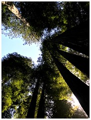 Up: In the Redwoods (jcurtis4082) Tags: up sky consulab redwoods trees renegade camera