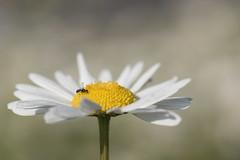 Atterrissage dans un champ de marguerites * (Titole) Tags: daisy insect shallowdof titole nicolefaton