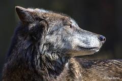 Wolf - 06041814 (Klaus Kehrls) Tags: wolf tier natur raubtier portrait zoo