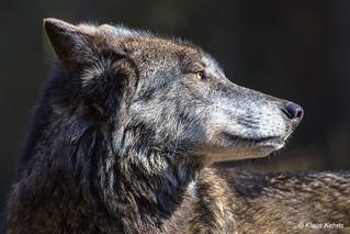 Wolf - 06041814