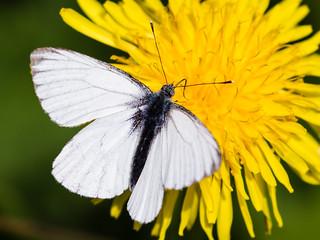 White on yellow - Weiß auf Gelb (Uli)