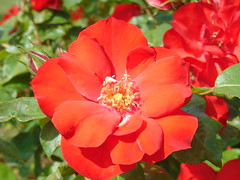 DSC01940 (Elodie0169) Tags: fleurs flowers roses rose couleurs colors nature flore parc lyon roseraie parfum parfums photographie photonature passion photoamateur