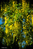 Fleurs de cytise (didier95) Tags: cytise fleur fleurdecytise fleurjaune jaune
