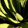 Spikes (Padmacara) Tags: australia fremantle square g11 plant shadowlight spikes green
