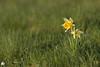 Isolées... (Ben Mouleyre Photographie) Tags: auvergne auvergnerhônealpes puydedôme massifdusancy jonquilles fleurs flower champs printemps pré