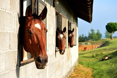 DSC_4556 (emina.knezevic) Tags: animal animaphotography horses equine equestrian equestrianphotgraphy pets petpotography nature countrylife countryside