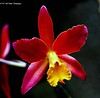 Orchid Red & Yellow (rumerbob) Tags: orchidred orchidyellow orchid flower floral flowergarden fauna flowerphoto macro macroflower macrophotography botany botanicalgardens botanical longwoodgardens nature naturewatcher naturephotography canon7dmarkii canon100400mmlens