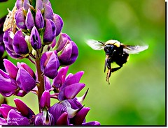 GIVE ME NECTAR (jawadn_99) Tags: bee beast garden hony flowers macro botanical picnik fauna flora art photography interrestingness elkton oregon fantacy color explore