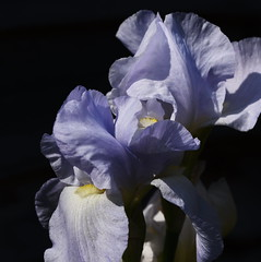 DSC_0007 Iris (PeaTJay) Tags: nikond750 sigma reading lowerearley berkshire macro micro closeups gardens outdoors nature flora fauna plants flowers iris