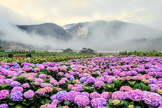Hydrangea field @ Yangmingshan National Park