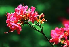Think Pink 💕 (barbara_donders) Tags: natuur nature pink roze spring lente flowers bloemen macro bokeh magical beautifull mooi prachtig japanese japans