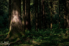 Taf Fechan (geraintparry) Tags: south wales southwales geraint parry geraintparry brecon taf fechan tree trees wood woods forest forests tone tones light sunlight harsh