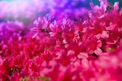 The city goes pink (pure_virtual) Tags: ifttt 500px flower nature color pink purple sun sunlight garden uk edinburgh warm plant bokeh beautiful contrast urban abstract focus