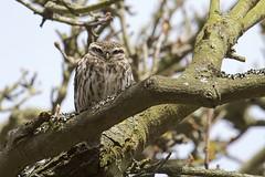 IMG_0309 (Sula Riedlinger) Tags: littleowlathenenoctua littleowl athenenoctua owl owls bird birdwatching birds birdphotography greaterlondonwildlife greaterlondon greaterlondonparkswildlife londonwildlife londonroyalparks londonparkswildlife londonparks nature nationalnaturereserve richmondpark royalparks royalpark surrey surreywildlife surreybirds ukwildlife uknature ukbirding ukbirds urbanwildlife urbannature urbanbirding wildlife wildlifephotography