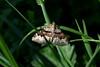Flame Carpet Moth (Robert & Pamela) Tags: rspb lochlomond macro closeup macrounlimited moth scotland