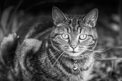 The Cat Next Door (Lindsey1611) Tags: cat pet tabby blackandwhite mono jungle tiger pretty cuteneighbour
