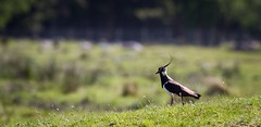 Northern lapwing (Vanellus vanellus) (claudiacridge) Tags: