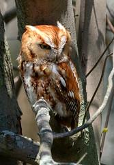 Eastern screech owl, red morph (Megascops asio) (dzittin) Tags: megascops asio eastern screech owl red morph tree ohio maumee bay