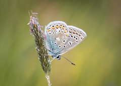 first blue (Emma Varley) Tags: butterfly commonblue spring may warnhamnaturereserve horsham westsussex insect nature joy