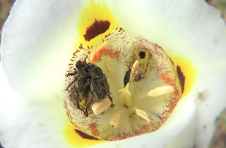 Two weevils using a Superb Mariposa Lily as a honeymoon suite. Well, why NOT the best?