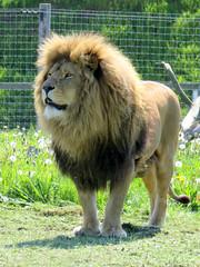 IMG_0017 (duncansmith50) Tags: yorkshirewildlifepark lions polar bears black rhino tigers giraffes doncaster