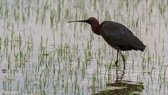 Capó reia,  Morito común,  Glossy Ibis,  (Plegadis falcinellus) (Francesc Farran) Tags: deltadelebre aves animales animal agua pajaros pájaro ocells ornitologia wild bridphotography naturephotography