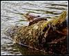 Frog on the Lake Gölcük. (@ tameristan) Tags: frog animal lake crater gölcük tameristan nikon nikona900 nikoncoolpixa900 kurbağa göl nature doğa