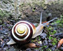 ' chocolate and cream ' ~Swirl.. * (John(cardwellpix)) Tags: wednesday 30th may 2018 chocolate cream swirl snail guildford surrey uk 3871