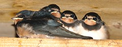 Swallow Chicks (Steve Boolds) Tags: all four chicks successfully fledged