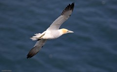 J78A3344 (M0JRA) Tags: birds flight flying wildlife rats walks gardens parks fields trees lakes ponds ducks swans rspb