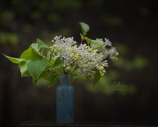 Pat's Lilacs